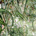 Mit viel Wasser hält es die Grünlilie an jedem Standort aus