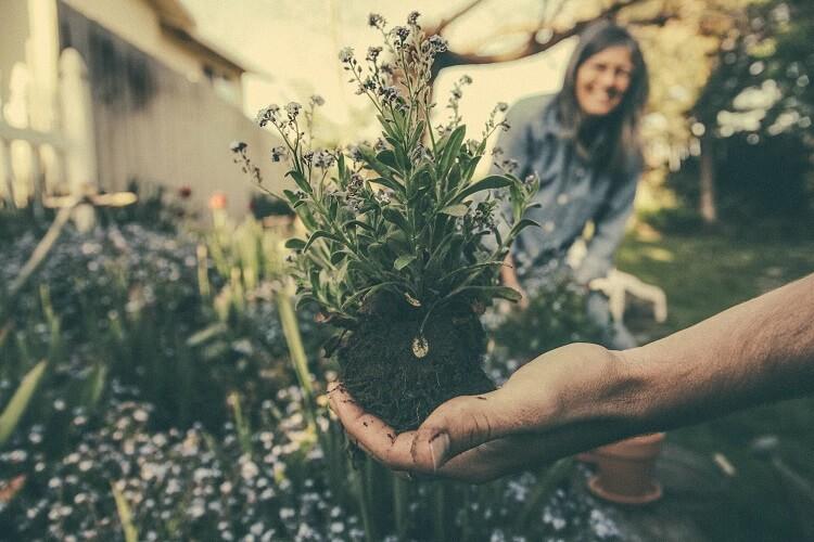 Pflanze mit Wurzelballen kurz vor dem Einpflanzen